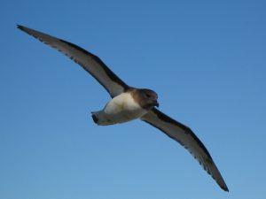 Буревестник птица. Образ жизни и среда обитания буревестника