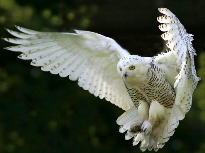 Так могут летать только совы