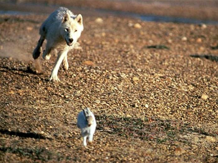 Динго в погоне за кроликом
