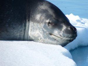 Настоящий тюлень