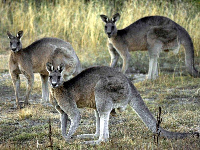 Западный серый кенгуру