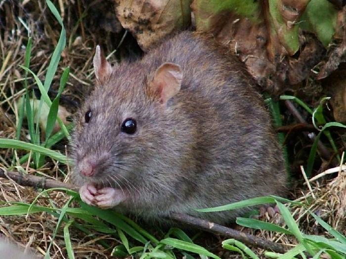 Крыса-животное-Описание-и-образ-жизни-серой-крысы-2