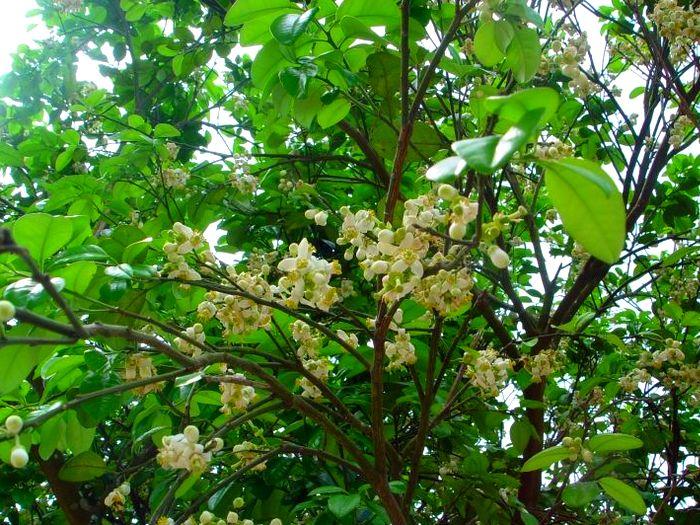 Цветы помело