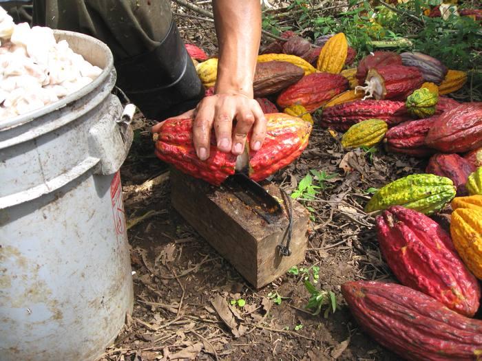 Так разделывают плоды дерева какао
