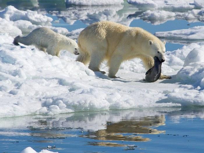 Охота на тюленя