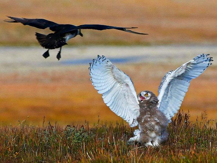 Большой птенец белой совы