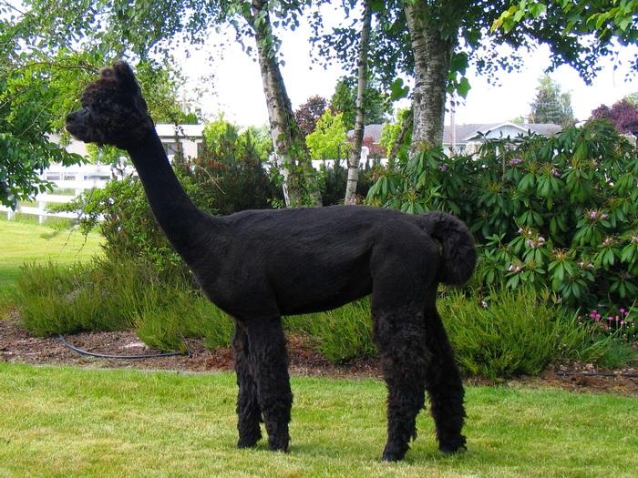 Совсем черный альпака
