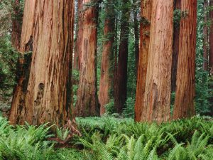 Секвойный лес