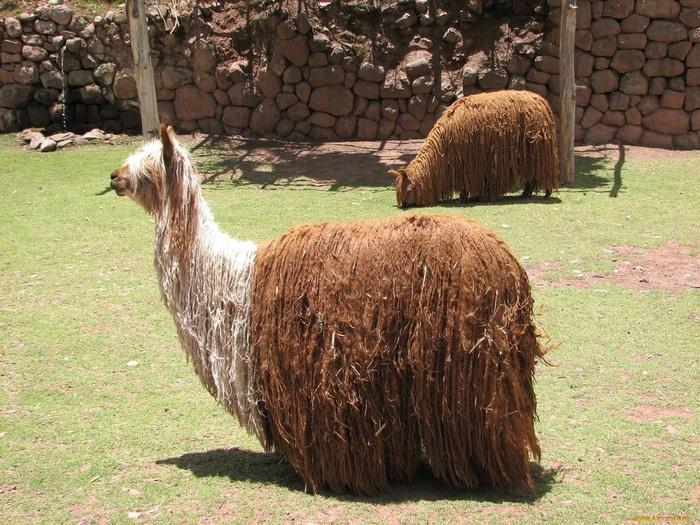 Мохнатая альпака