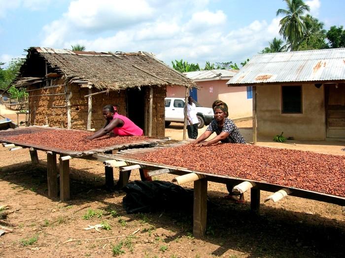 Сушка какао бобов