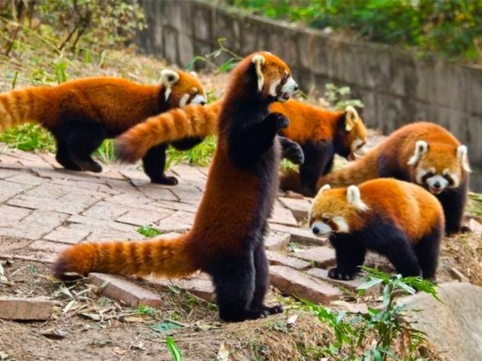 Фото-красной-панды-Лучшие-фото-8