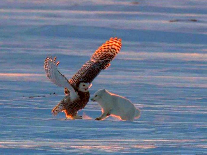 Схватка полярной совы и голубого песца