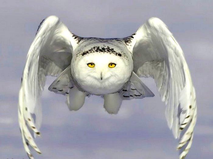 Белая сова в полете