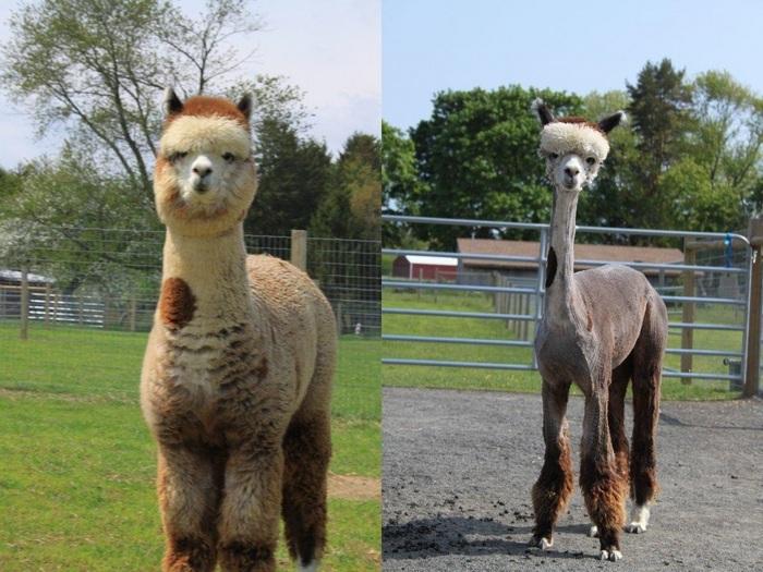 До и после стрижки...