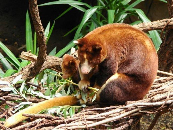 Валлаби - древесный кенгуру