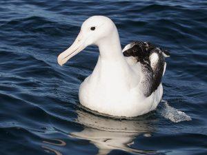 Красавец альбатрос