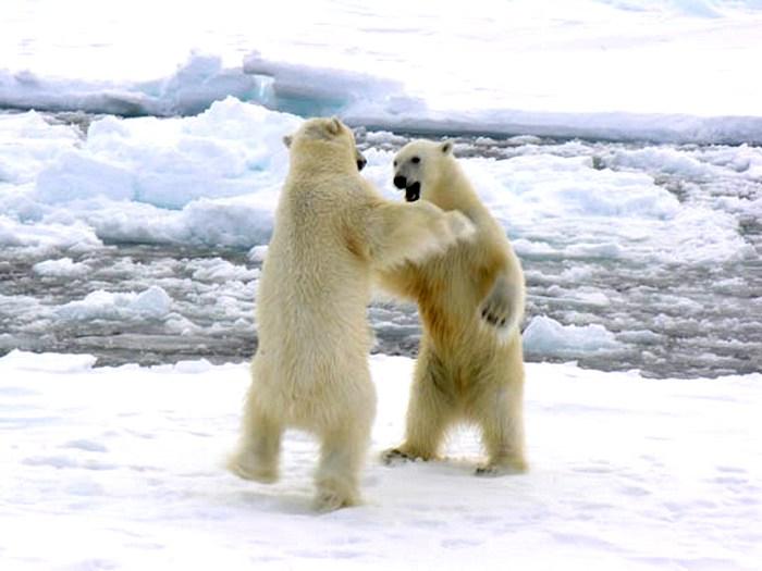 Медвежьи разборки