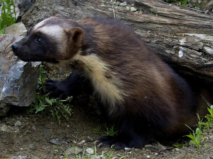 Среднее между барсуком и медведем