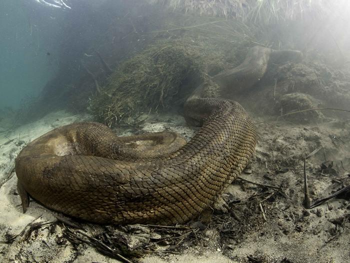 Самая страшная змея