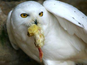 Белая хищница Заполярья