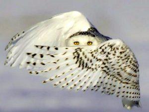 Полярная сова в воздухе