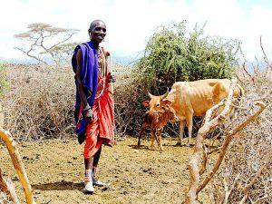 Масаи и коровы