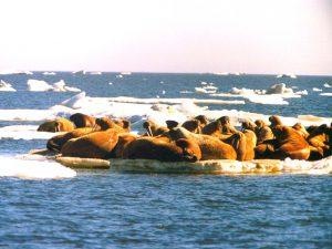 Море Лаптевых фото