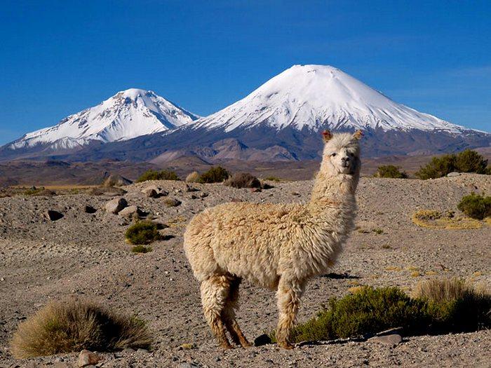 Альпака животное. Описание и образ жизни альпака