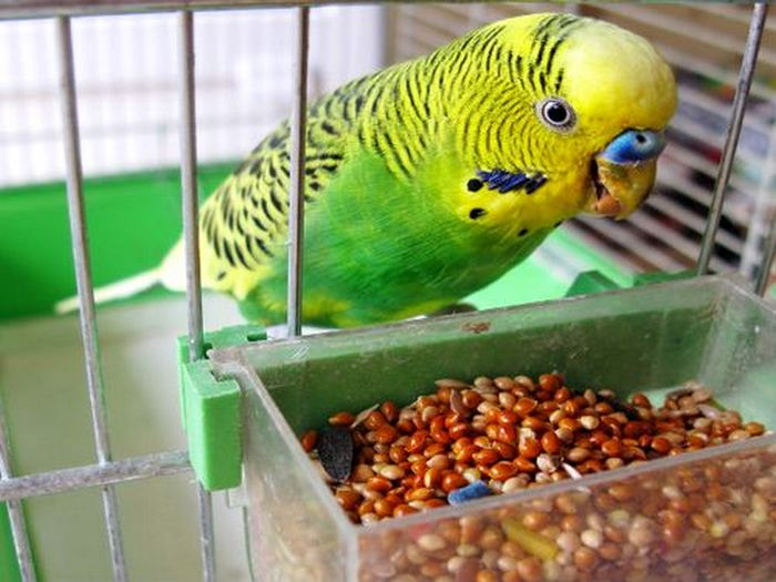Корм для волнистого попугайчика