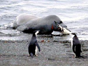 Пингвин — завтрак морского леопарда