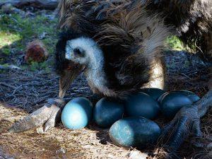 Яйца эму