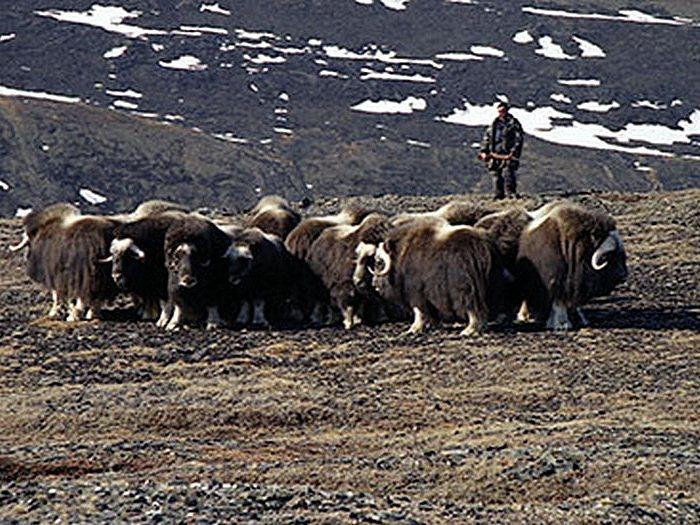 Стада овцебыков на острове Врангеля
