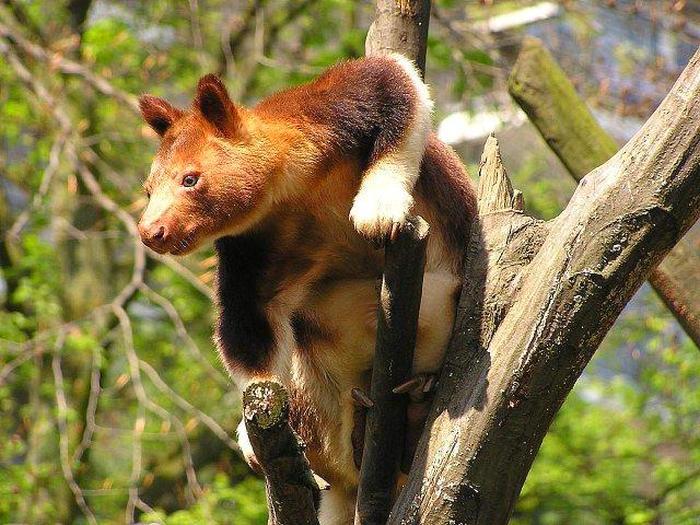 Древесный кенгуру Валлаби