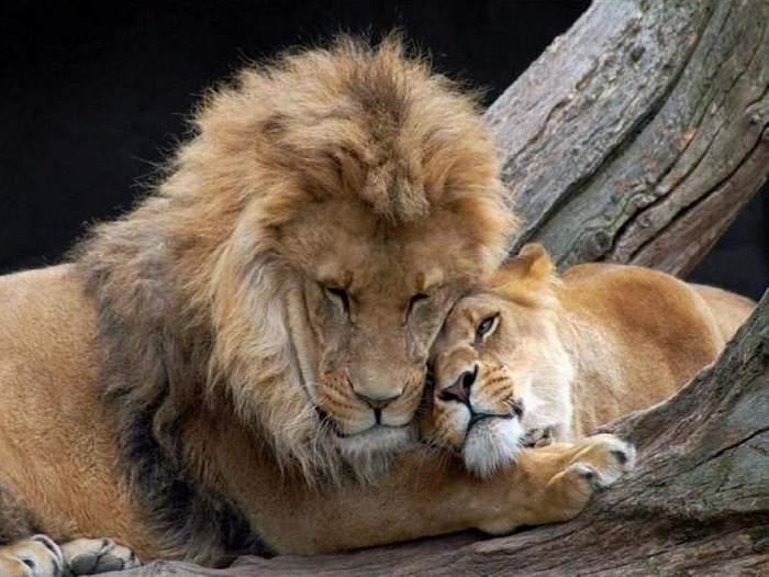 Пара львов в зоопарке