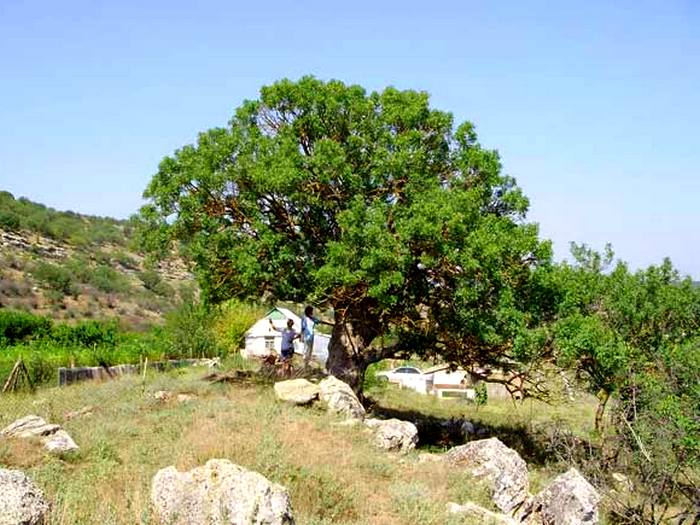 Дерево фисташка
