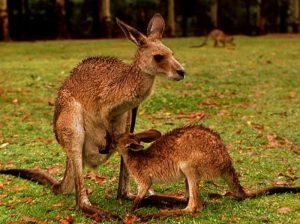 Детеныши кенгуру