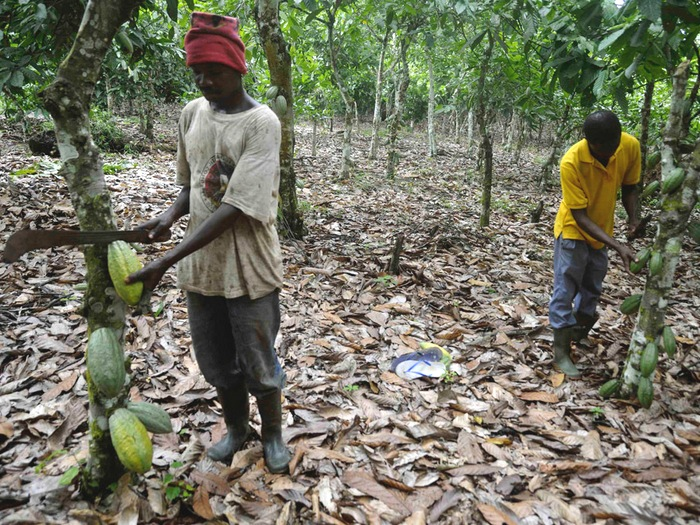 Какао-бобы в Африке