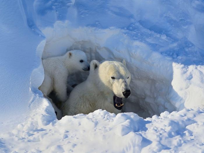 Берлога белой медведицы