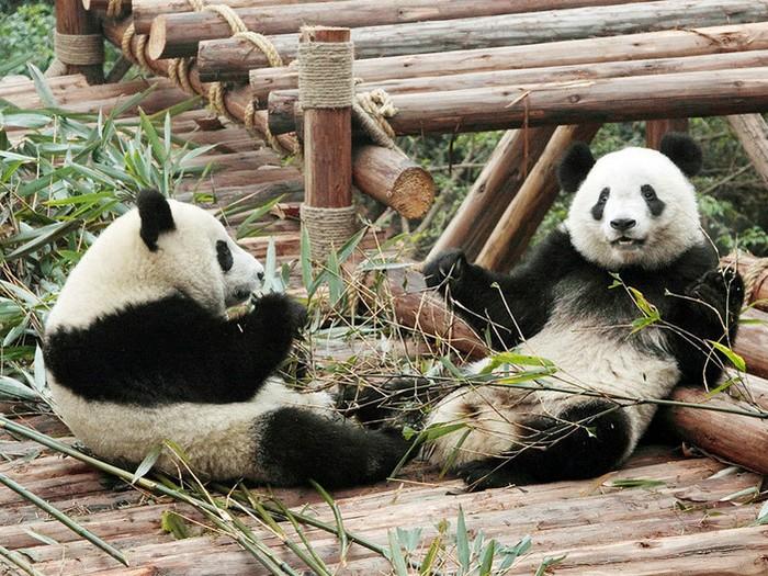 Молодые панды