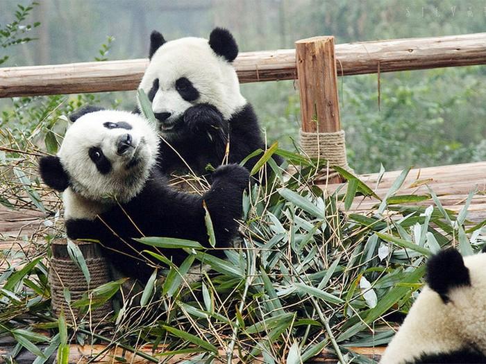Панды в Бифэнся