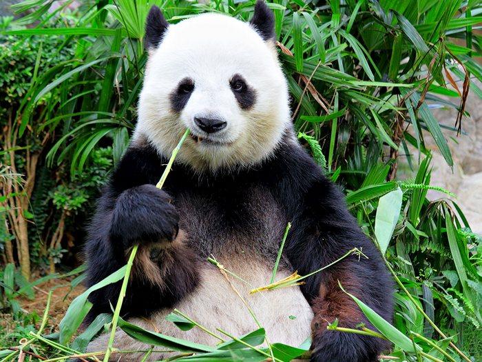 Бамбук для панды