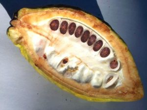 Семена плодов какао