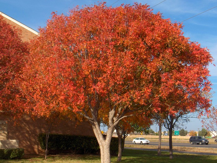 Фисташковое дерево осенью