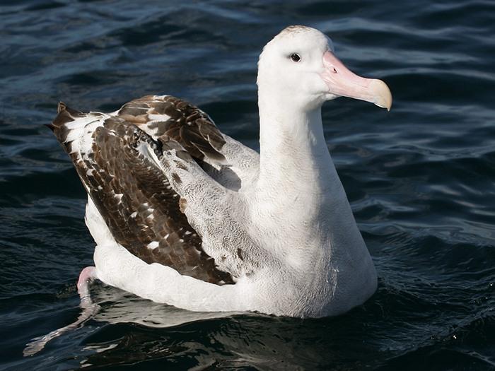 Странствующий альбатрос - уникальная птица