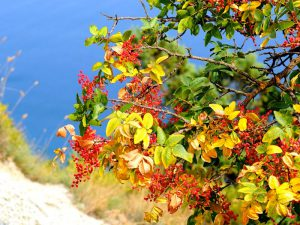 Фисташка туполистная — кевовое дерево