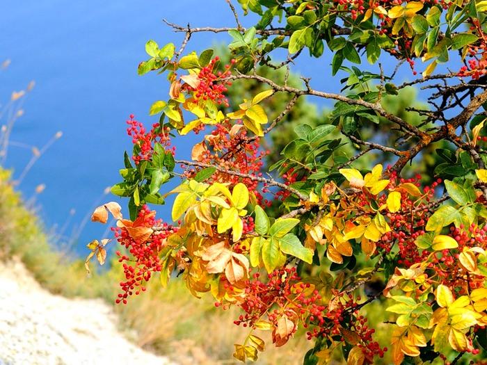 Фисташка туполистная - кевовое дерево