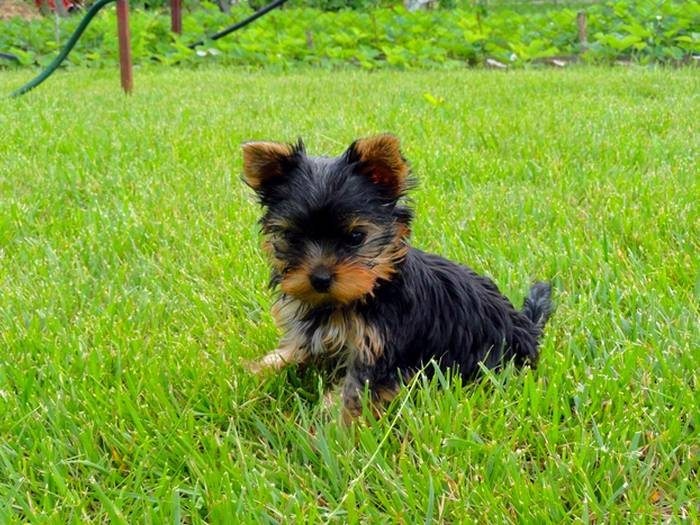 Первый раз на траве щенок йорка
