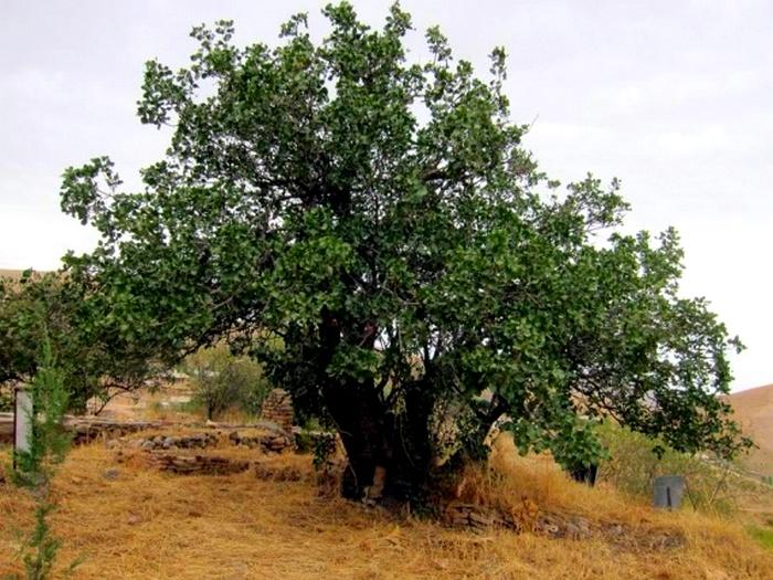 Как долго растет фисташковое дерево?