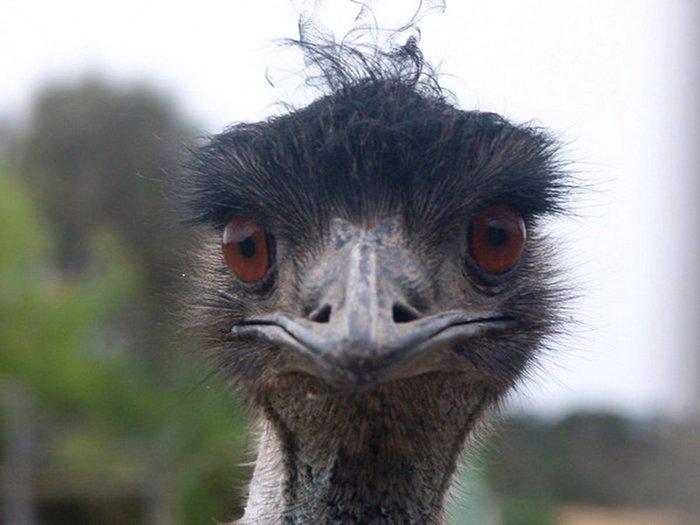 Птица напоминающая страуса