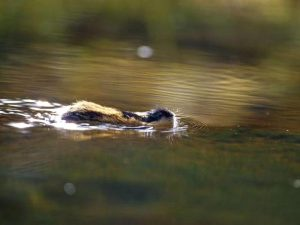 Лемминг классный пловец